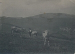 Mann mit Kühen auf Weide